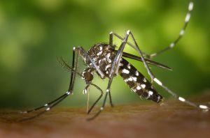 800px-CDC-Gathany-Aedes-albopictus-1