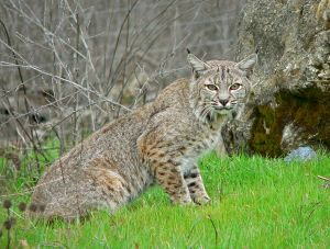 791px-Bobcat2