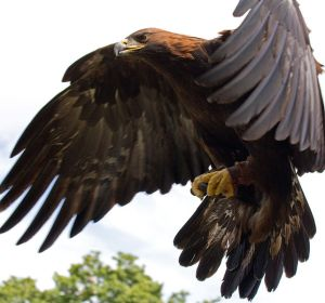 642px-Golden_Eagle_in_flight_-_5