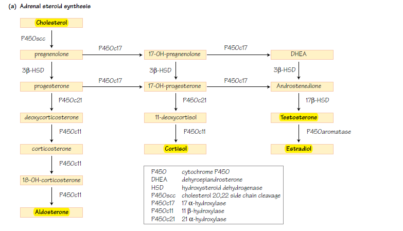 Steroid systhesis pathway diagram